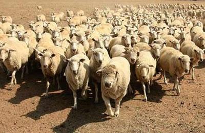 schapen_01